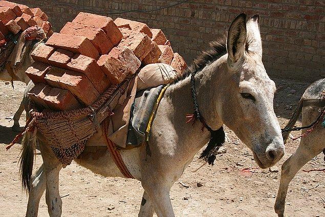 1. İsviçre'de 2005 yılında omurgalı hayvanlar için taşıyabileceklerinden fazla yük taşımaları yasaklanmıştır.