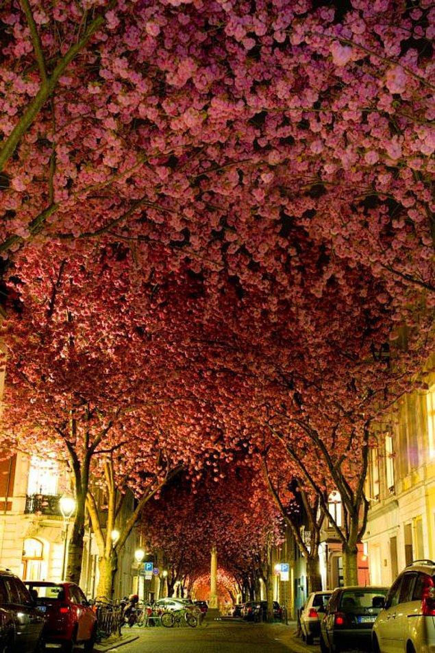 4. Çiçek açan Kiraz Ağaçları (Almanya)