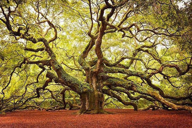 7. Melek Meşe Ağacı (Güney Karolina)