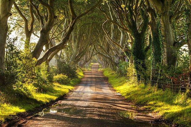 14. Kayın Ağaçlarından bir yol (Kuzey İrlanda)