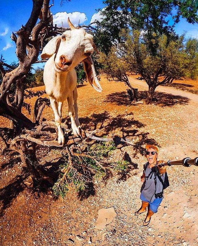 8. Instagram fenomenlerine taş çıkartacak bir keçi.  😍