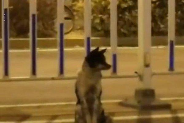 В Китае собака вот уже 80 дней ждет хозяина на месте его смерти