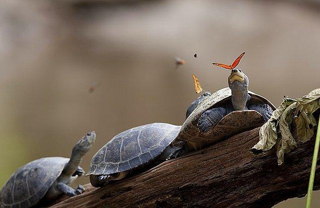 15. Amazon ormanlarındaki kelebekler kaplumbağaların gözyaşlarından beslenirler.