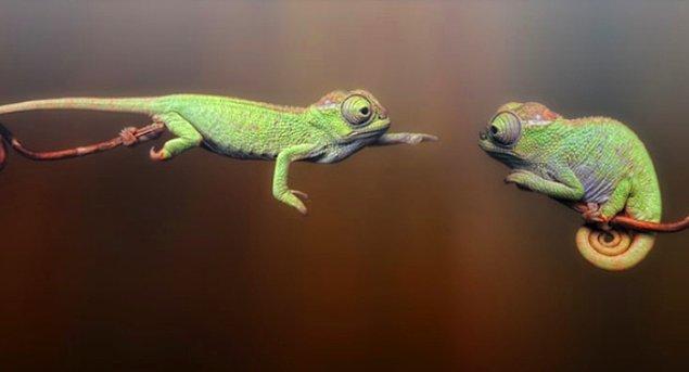 11. Bukalemunlar avlarını yakalamak istediklerinde dillerini vücut uzunluklarının 1.5 katı uzatabilirler.