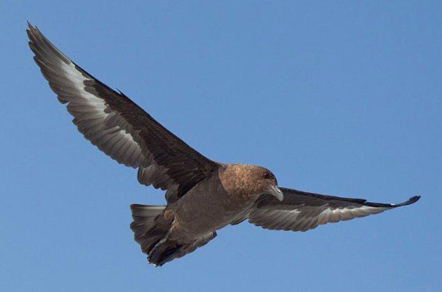 7. Yırtıcı martıgiller, diğer kuşlar yemeklerini bırakana kadar onları rahatsız ederler ve daha sonra yerler.