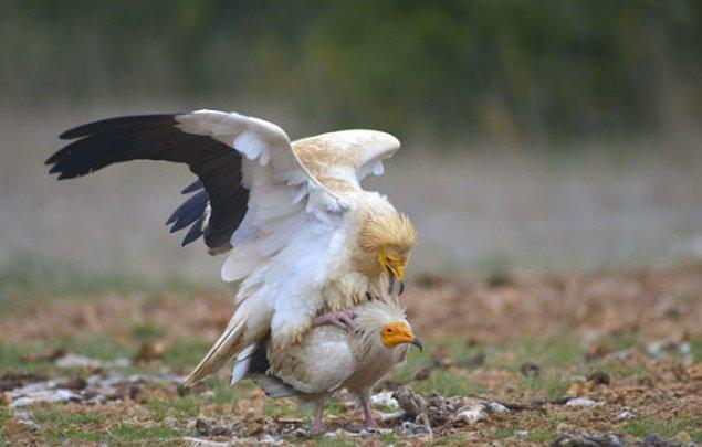 1. Mısır akbabaları deve kuşu yumurtalarını açmak istediklerinde kırmak için taş kullanırlar.
