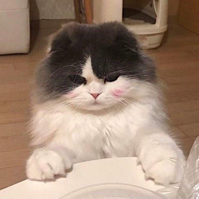 Kedi Bakım Kuruluşu'nun açıklamasına göre kedigiller, hayatlarına devam edebilmek için et yemek ZORUNDA.