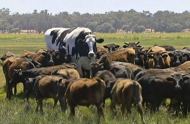 Adı Knickers olan bu ineğin boyu tam 1,93 ve 1400 kilogram.