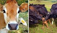 17 веских доказательств того, что коров ужасно недооценивают, а зря