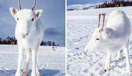 Предрождественское чудо: Очень редкий белоснежный олененок был замечен в Норвегии (6 фото)