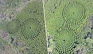 Разгадана тайна деревьев, растущих в форме идеальных кругов в кедровом лесу Японии