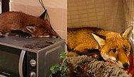 The Cutest Intruder Ever! This Fox Fell Asleep On Top A Microwave!
