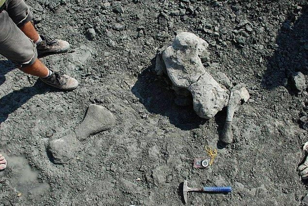 1. Polonya'da yeni bir disinodont'a (memeli benzeri sürüngen bir canlı) ait fosiller keşfedildi.