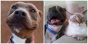 19 Super Cute Pit Bull Pictures That Are Guaranteed To Make Your Day Better!