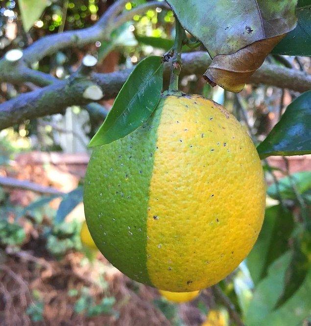 6. Lime ve limon melezi!