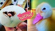 Женщина спасает яйцо-балют из ресторана и теперь у нее есть лучший друг-утка