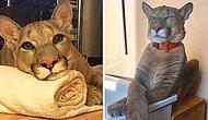 Пума по кличке Месси спасена из контактного зоопарка и теперь живет как избалованная домашняя кошка: 20+ фото