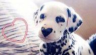 Далматин Вилли с пятном в форме сердца на носу: 27 фото, которые согреют вас любовью