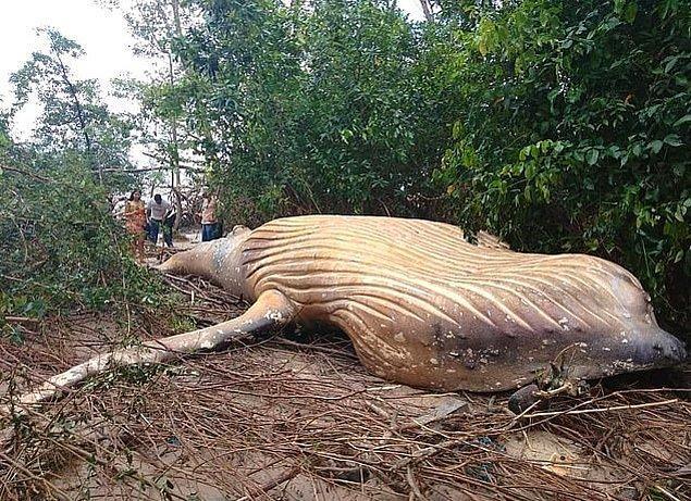 """Emin açıklamasına şöyle devam etti; """"Kambur balinalar kuzeye doğru göç etmezler. En son üç yıl önce görmüştük ama bu çok nadir olur."""""""