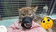 Три эстонца спасли собаку из замерзшей реки, а потом выяснилось, что это волк: 8 фото