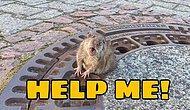 Вокруг шум: Толстая крыса застряла в люке, и пришлось вызывать пожарных, чтобы спасти ее
