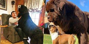 12 GIANT Dogs For People Who Will Never Get Enough Of Dogs!