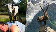 13 Photos Proving Goats Can Confidently Climb And Chill Anywhere!
