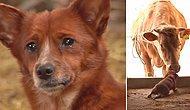 Annesi Gibi Gördüğü İnek Satılınca Gözyaşlarına Hakim Olamayan Köpeğin Yürekleri Dağlayan Görüntüleri!