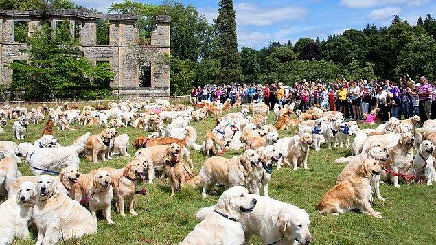 15. Golden Retriever Festivali, İskoçya
