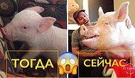 Пара из Канады приютила очаровательного мини-пига, а потом из него выросла огромная свинья (26 фото)