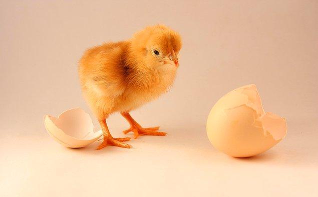 Önce tavuk mu yumurtadan çıktı, yumurta mı tavuktan?
