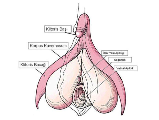 Çok konuşulan klitoris de vajinanın bir bölümü değildir.