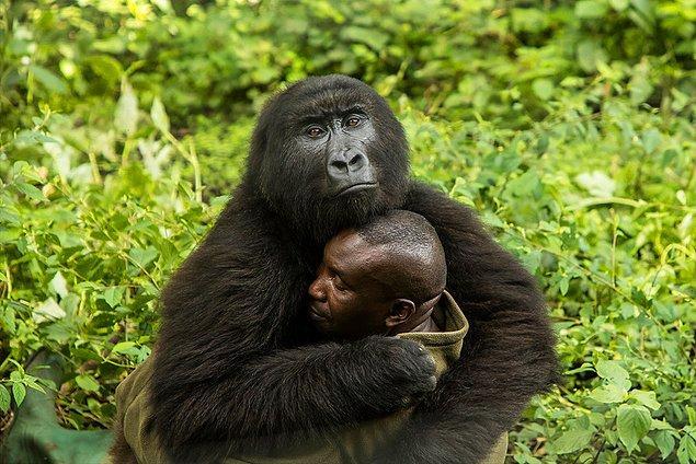 11. Ulusal Kongo park müdürü bir gorili kucaklıyor. Kaçak avcılar genellikle park gözetmenlerini öldürür. O, tehlikeye rağmen hayvanları asla terk etmez.