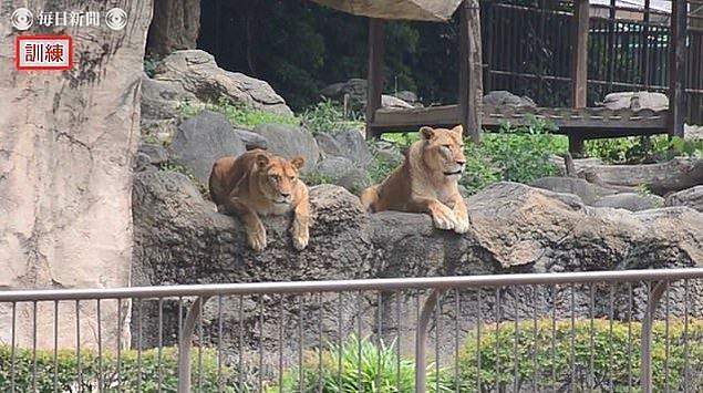 Kameralara yansıyan görüntülerde, kafası karışmış bu iki aslanın bakışları dikkat çekti.