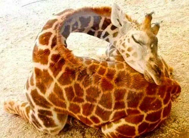 3. Yavru zürafalar, kafaları kalçalarının üzerinde uyurlar.