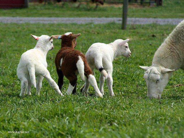 6. Koyunlar aslında uzun kuyrukla doğarlar.