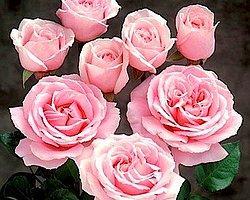 Вы - розы!