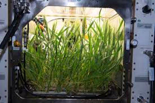 """2018 yılında, """"Gelişmiş Bitki Habitatı"""" adı verilen ve kendi kendine yeten bir büyüme sistemi, ekibin taze gıda yetiştirmesine yardımcı olmak için Sebze Üretim Sistemine katılarak ISS'a gönderildi."""