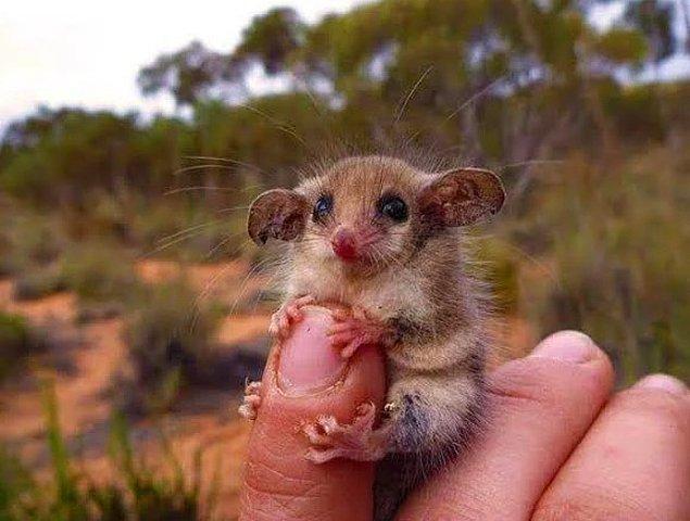 7. Avusturalya'da bulunan keseli bir cüce sıçan.