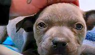Yürüyemez Haldeyken Barınaktan Kurtarılan Köpek İyi İnsanların Yardımıyla Koşmaya Başladı!