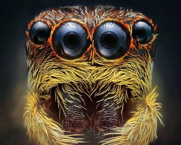 Zıplayan örümceğin adeta çizgi film karakteri gibi duran bir portresi.