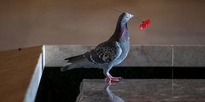 Голубь-романтик свои гнездо из искусственных цветов, оставленных посетителями у военного памятника