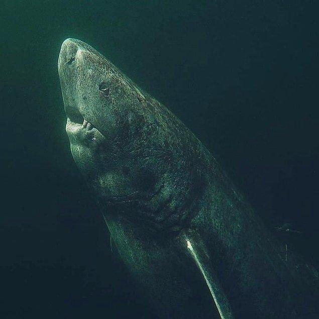 14. Kuzey Buz Denizi'nde kısa zaman önce ortaya çıkan bu Grönland köpekbalığı tam 392 yaşında.
