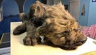 В Якутии найдена мумия собаки возрастом 18 тысяч лет