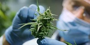 В Канадском университете стартует дипломная программа по обучению выращивания марихуаны