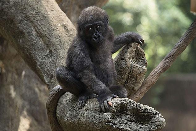 Необычная горилла, которая родилась с недостатком пигментации на пальцах