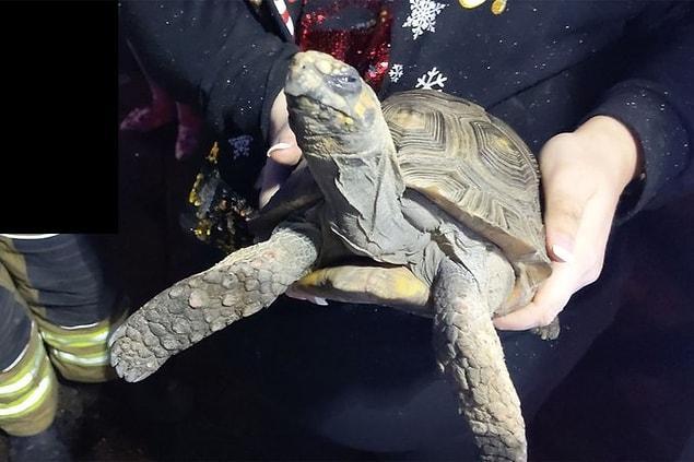 Черепаха, которую оставили одну на Рождество, подожгла дом