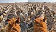 Китайский пастух научил овец ходить строем