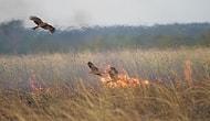 Гори оно все пламенем! Австралийские птицы устраивают поджоги ради новой добычи