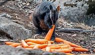 Правительство Австралии сбрасывает тонны овощей с вертолетов для голодных животных, спасающихся от лесных пожаров